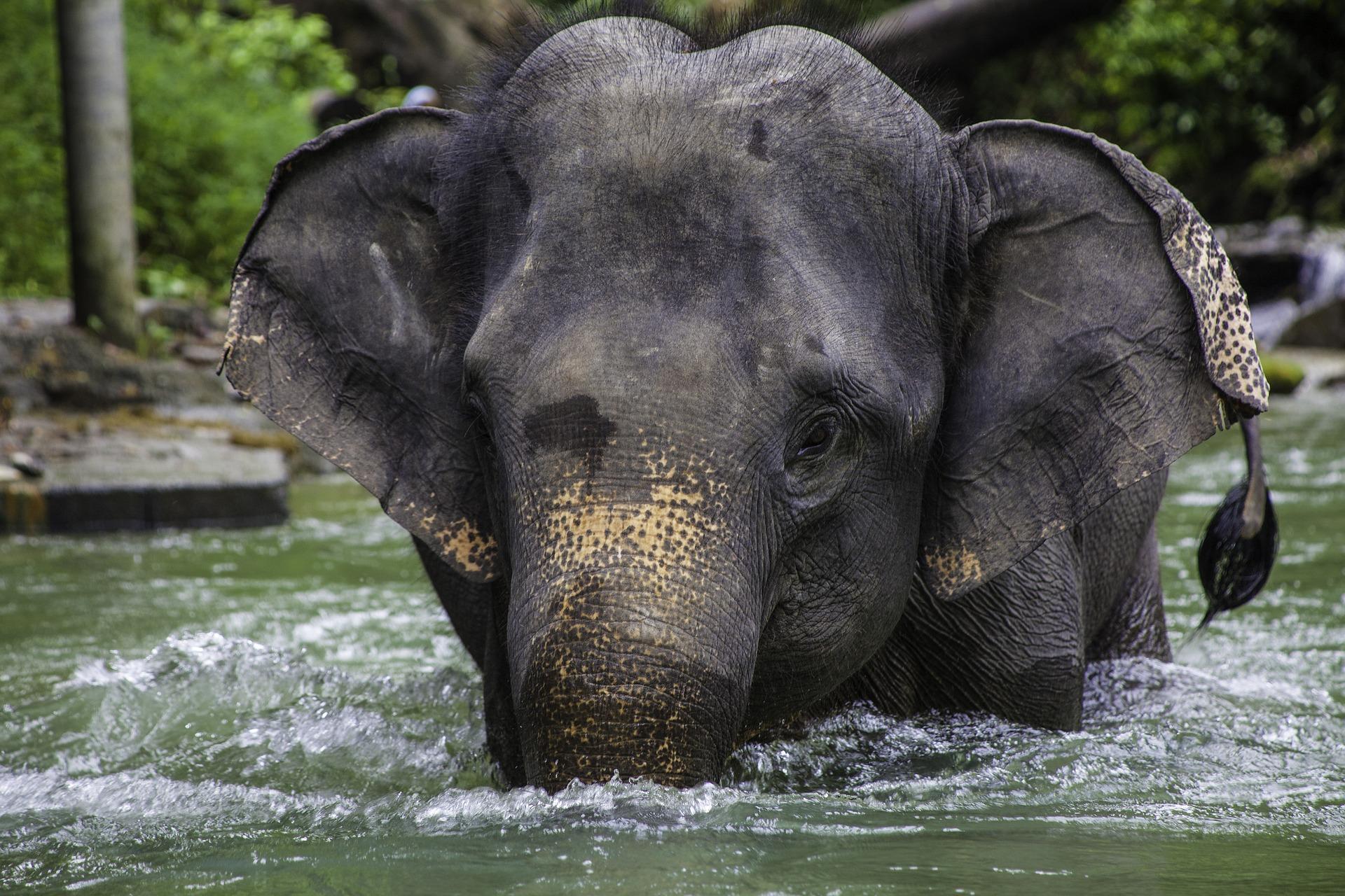 słoń azjatycki
